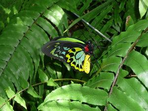 https://marlonpalmas.files.wordpress.com/2010/01/cairns_butterfly_by_livelifelearn.jpg
