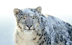 https://marlonpalmas.files.wordpress.com/2010/01/snow_leopard_by_fledmorphine.jpg