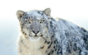 http://marlonpalmas.files.wordpress.com/2010/01/snow_leopard_by_fledmorphine.jpg?w=480